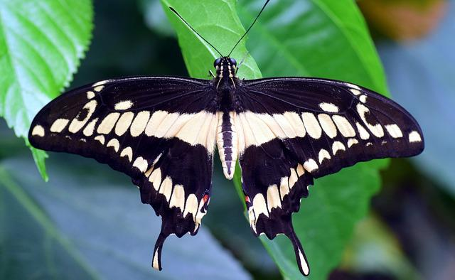 Dovetail, Papilio Machaon, Butterfly, Exotic, Tropical