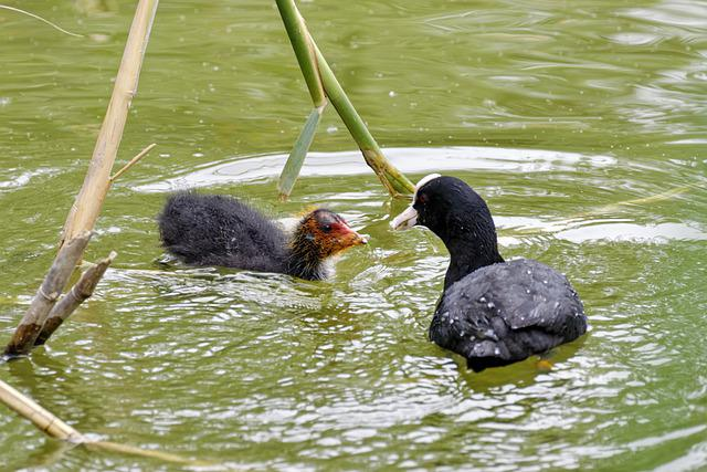 Birds, Coots, Chicken, Down, Parent, Black Plumage