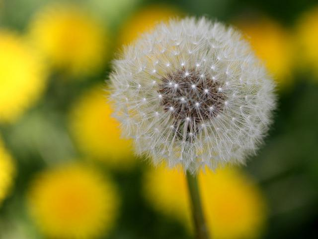 Dandelion, Down, Yellow, Flower, Plant, Spring, Nature