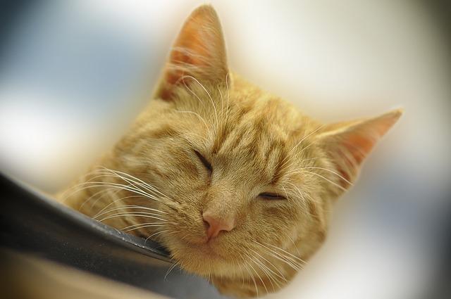 Cat, Cute, Pet, Animal, Red Mackerel Tabby, Doze