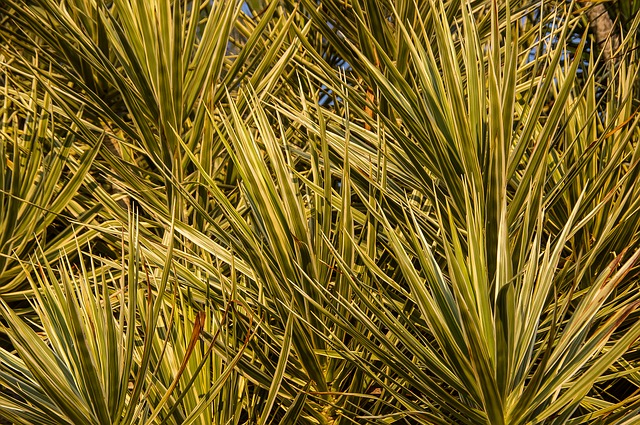 Dracaena, Foliage, Green, Variegated, Leaves, Garden