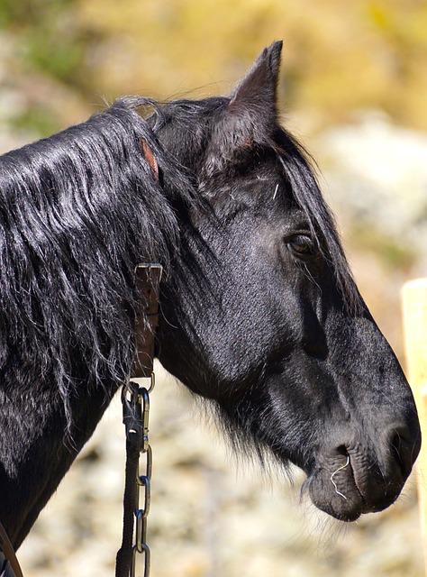 Draft Horse, Black, Stallion, Horse, Animal, Face
