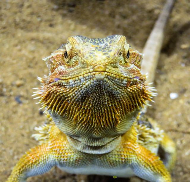 Animal, Lizard, Agame, Reptile, Dragon, Scale, View