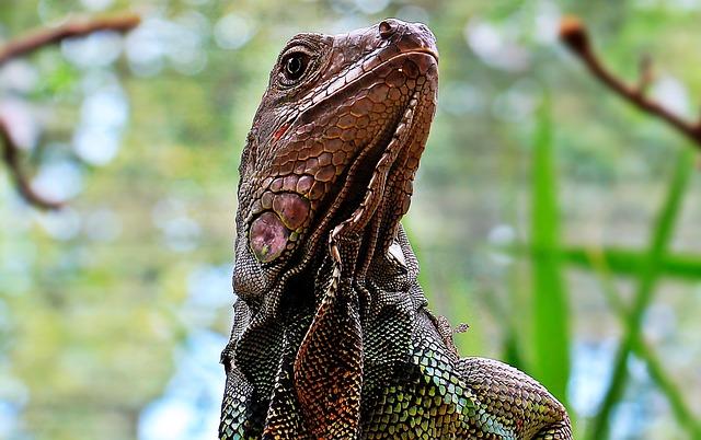 Iguana, Reptile, Zoo, Lizard, Animal, Dragon, Scale