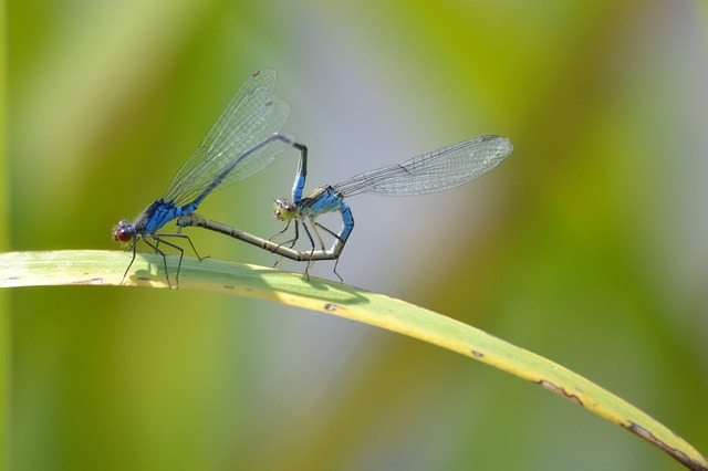 Nature, Dragonflies, Pairing