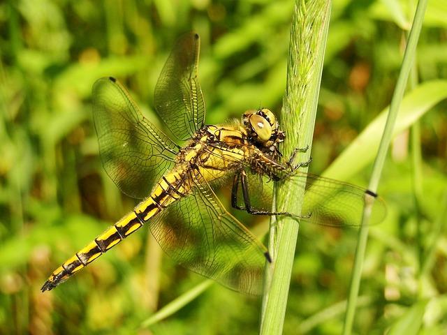 Insect, Nature, Dragonflies Różnoskrzydłe