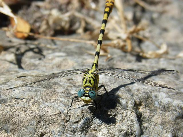 Cordulegaster Sp, Dragonfly, Dragonfly Atrigrada