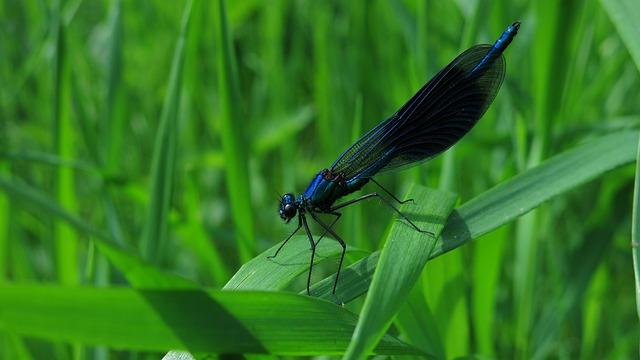 Banded Demoiselle, Calopteryx Splendens, Dragonfly