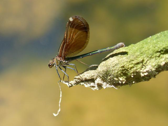 Dragonfly, Damselfly, Black Dragonfly