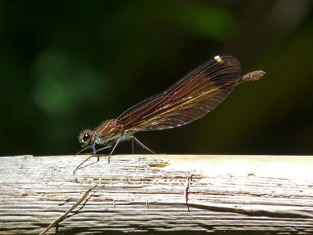 Dragonfly, Black Dragonfly, Calopteryx Haemorrhoidalis