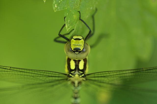 Dragonfly, Hawker, Macro, Compound Eyes, Animal World