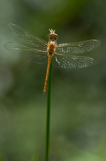 Sympetrum Striolatum, Dragonfly, Darter, Insect