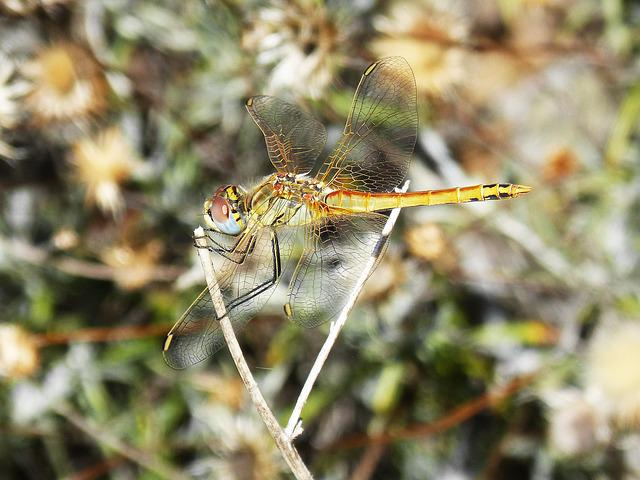 Dragonfly, Insect, Colors, Wings, Bello, Libellulidae