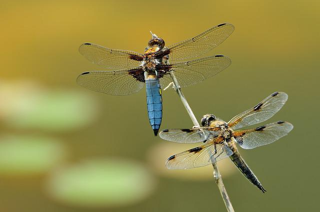 Macro, Dragonfly, Insect