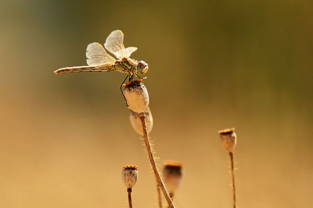 Dragonfly, Macro, Winged Insects, Insect