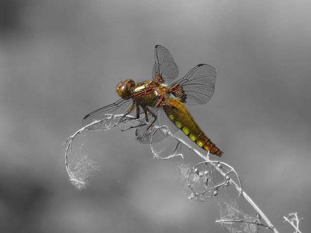 Dragonfly, Black And White, Yellow, Orange, Macro