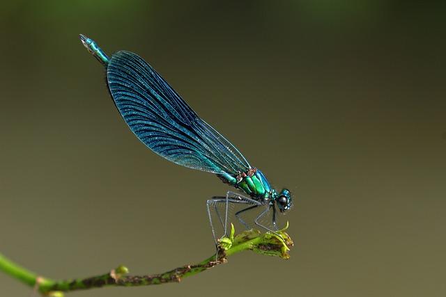 Maid, Odonata, Dragonfly, Nature