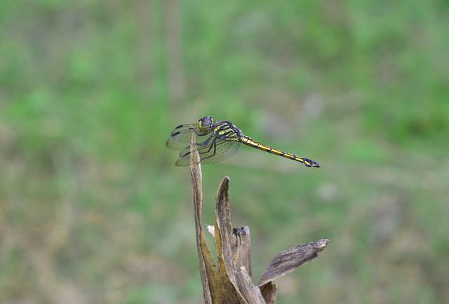 Dragonfly, Wildlife, Nature, Animal, Outdoors, Insect