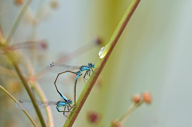 Dragonfly, Insect, Pairing, Predatory Insect, Macro