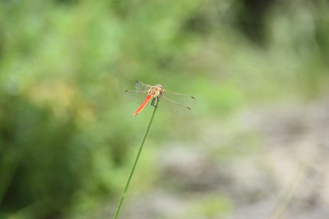 Dragonfly, Insects, Animal, Summer, Mountain, Forest