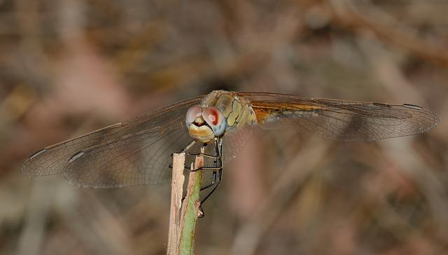 Dragonfly, Sympetrum, Fonscolombii, Macro