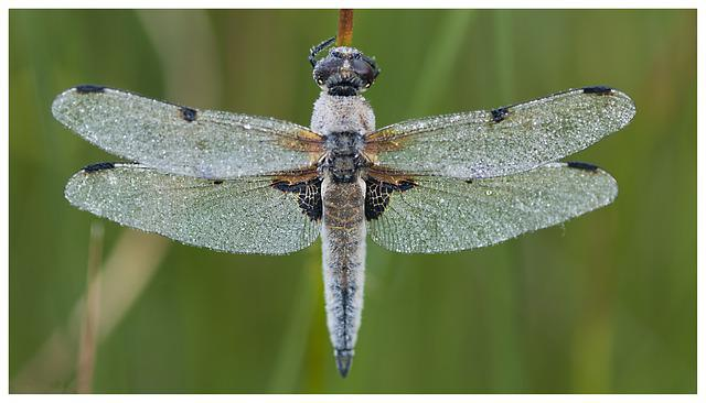 Dragonfly, Torfbroek, Nature