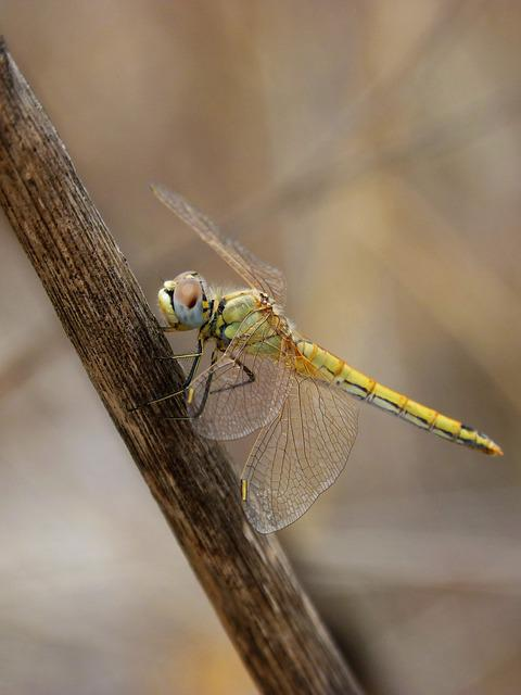 Dragonfly, Yellow Dragonfly, Cane, Libellulidae