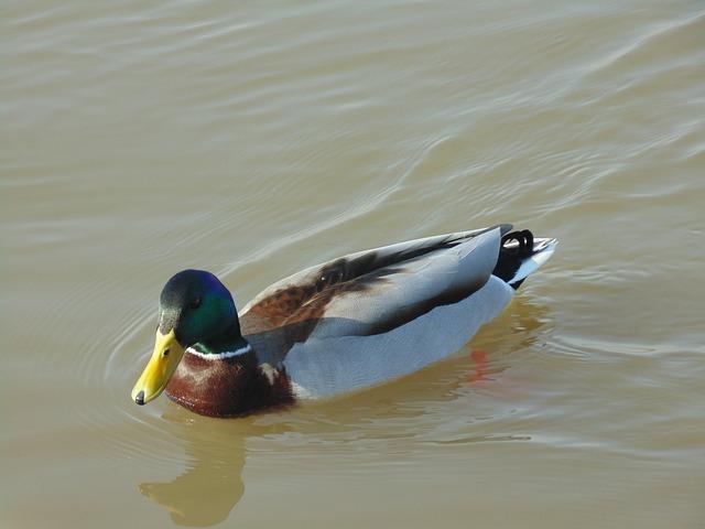 Duck, Drake, Water, River