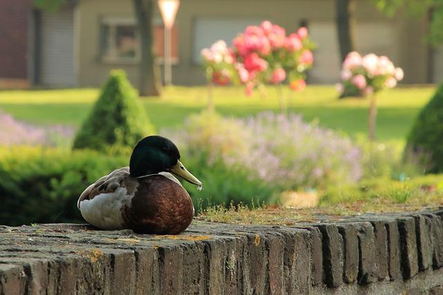 Duck, Water Bird, Drake, Mallard, Niederzier