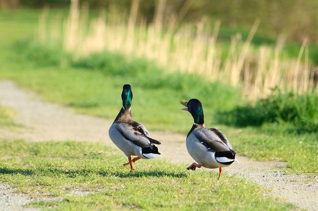 Mallard Duck, Drake, Bird, Walk, Path