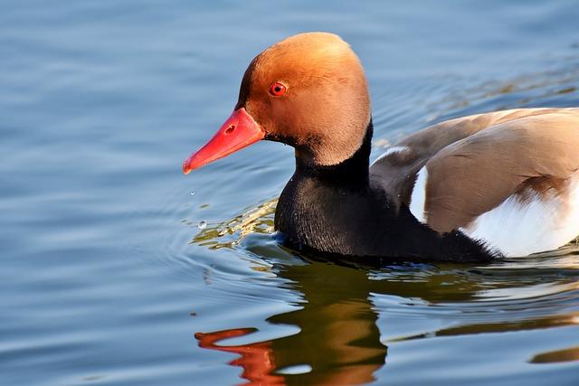 Piston Duck, Duck, Water Bird, Bird, Plumage, Drake
