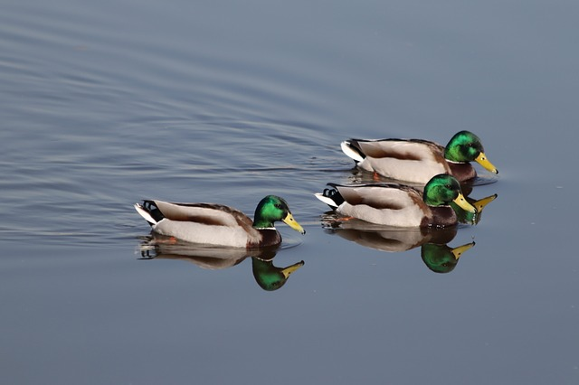 Duck, Bird, Water, Lake, Nature, Drakes, Drake, Mallard