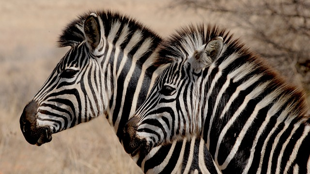 Zebra, Wild Animal, Africa, Stripes, Drawing