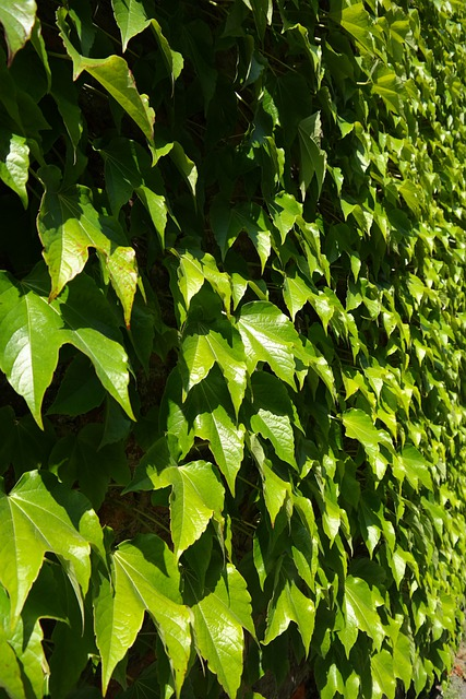 Leaves, Greening, Wall, Fouling, Green, Dreispitz Vine