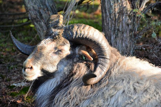 Sheep, Drenthe, Drenthe Heath Sheep, Horns