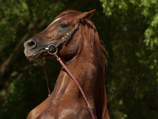 Horse, Cabrer, Horse Show, Dressage