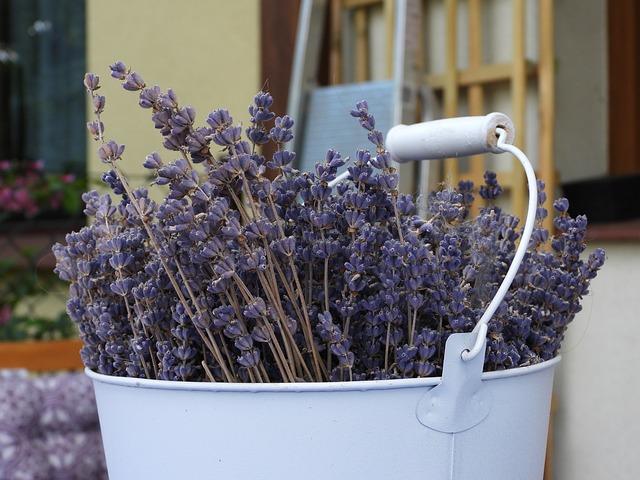 Lavender, Dried Lavender, A Bucket Of Lavender