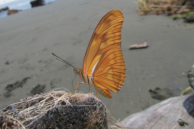 Dryas Iulia, Beach, Driftwood, Butterfly, Julia