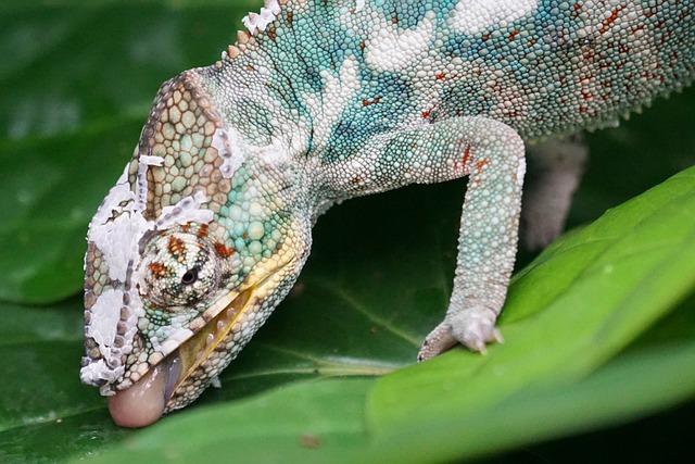 Chameleon, Panther Chameleon, Reptile, Drink
