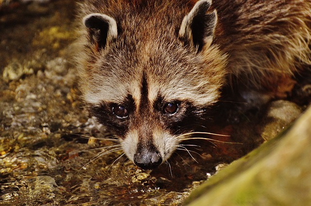 Raccoon, Wild Animal, Water, Drink, Wildpark Poing