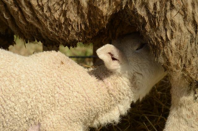 Lamb, Sheep, Suckle, Drinking, Feed