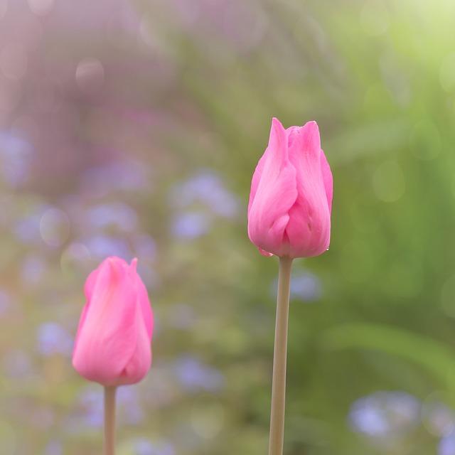 Tulip, Spring, Nature, Flower, Tulpenbluete, Drip