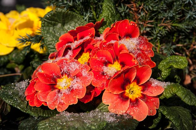 Morgentau, Drip, Nature, Primrose, Plant, Dewdrop