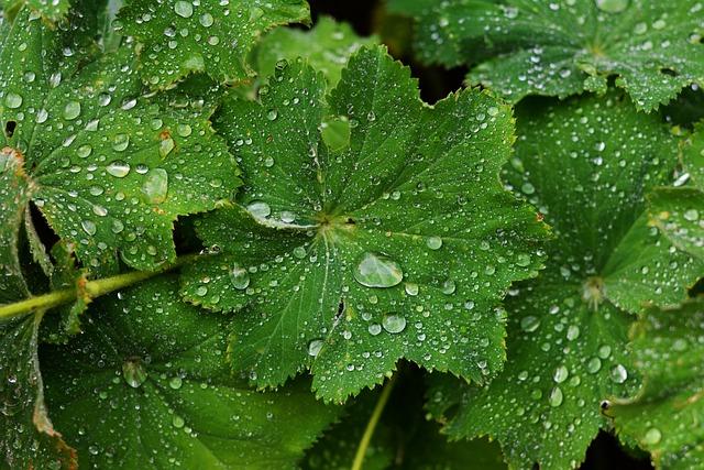 Frauenmantel, Drop Of Water, Plant, Drip, Raindrop