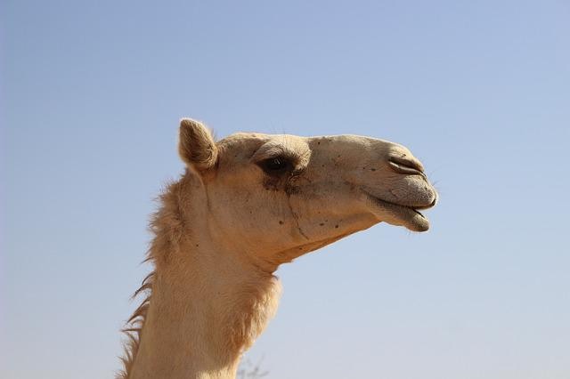 Dromedary, Animal, Mammal, Nature, No Person