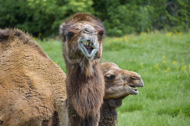 Dromedary, Funny, Two, Camelid, Animal, Fun, Camel