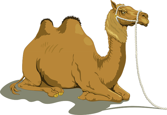 Camel, Dromedary, Two, Humps, Resting, Reins, Animal
