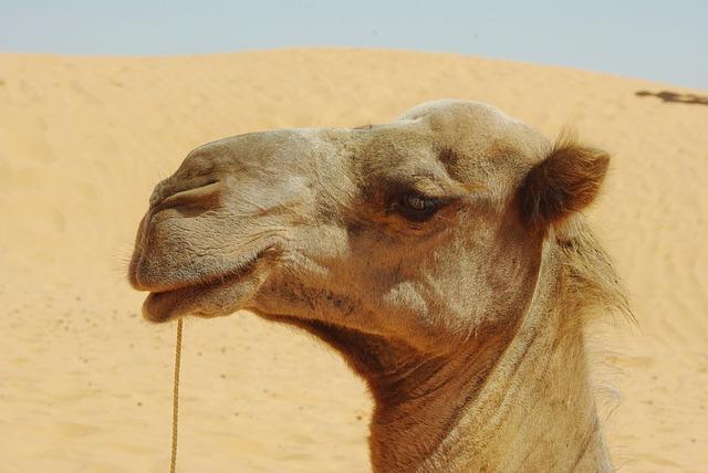 Tunisia, Dromedary, Head, Look, Animal, Desert, Caravan