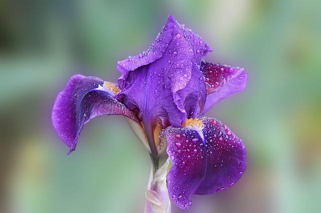 Iris, Blossom, Bloom, Drop Of Water, Flower, Nature