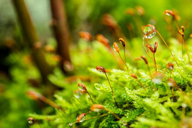Moss, Stalked Spore Capsules, Drop Of Water, Dewdrop